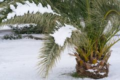 Leavs von den Palmen bedeckt mit Schnee Lizenzfreies Stockbild
