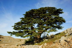 Lebanese Cedar Royalty Free Stock Images