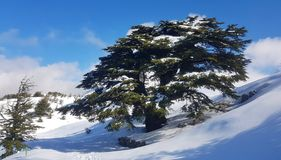 Lebanese Cedar royalty free stock photography