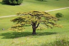 Lebanese Cedar Tree in an English Park stock photo