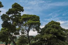 Lebanese cedars against a blue sky with white clouds stock image