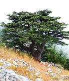 Lebanon Cedar on a misty day stock image