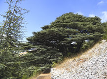 Lebanon Cedar Forest stock photos
