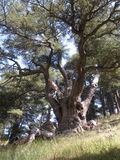 Lebanon Cedar. An immense Lebanon cedar in Lebanon's renowned Forest of the Cedars of God Royalty Free Stock Photo