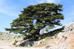 Lebanon Cedar Royalty Free Stock Image