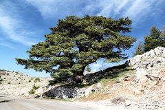 Lebanon Cedar royalty free stock photos