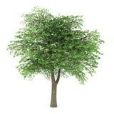 Lebanon cedar tree isolated on white Royalty Free Stock Photos