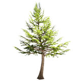 Lebanon Cedar Tree Isolated. On white Royalty Free Stock Photography