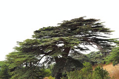 Lebanon Cedar on a white background royalty free stock photos