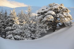 Lebanon cedars. A winter view of the Forest of the Cedars of God (or Arz el-Rab), a historic cedar forest on Mount Lebanon, Bsharri, Lebanon royalty free stock image