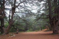 Lebanon Cedars on a misty day. Cedar Forest in the Mist in Lebanon stock photography