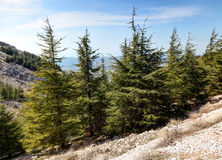 Lebanon Cedars Royalty Free Stock Images