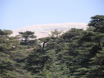Cedars of Lebanon Stock Photography