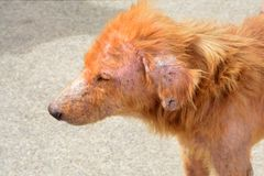 Lebbroso del cane Fotografia Stock