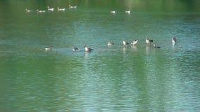 Leben auf dem Wasser Gänse und cormoran - auf dem See stock video footage