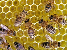 Leben der Bienen. Lizenzfreie Stockbilder