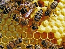 Leben der Bienen. Wiedergabe der Bienen. Stockfotos