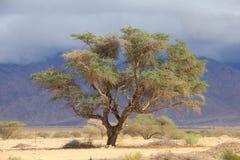 Leben in der israelischen Wüste Lizenzfreies Stockbild