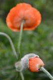 Leben einer Mohnblumen-Blume, die Blume von der Knospenjacke ausbricht Stockfoto