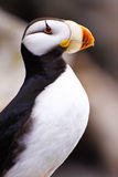Leben-Mitte-gehörnter Papageientaucher-Porträt Alaskas - Meer Stockfoto