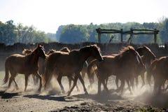 Leben Sie das Galoppieren über den Pferdebauernhof in herden, wenn die Sonne untergeht Lizenzfreie Stockfotografie