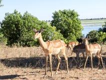 Leben Sie Impala Aepyceros melampus, Nationalpark Chobe, Botswana in Herden Lizenzfreie Stockfotos