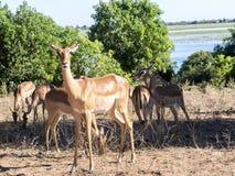 Leben Sie Impala Aepyceros melampus, Nationalpark Chobe, Botswana in Herden Stockfotos