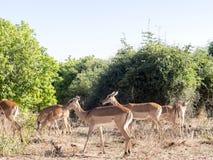 Leben Sie Impala Aepyceros melampus, Nationalpark Chobe, Botswana in Herden Stockfotografie