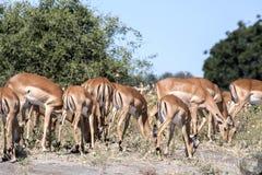 Leben Sie Impala Aepyceros melampus, Nationalpark Chobe, Botswana in Herden Stockbilder