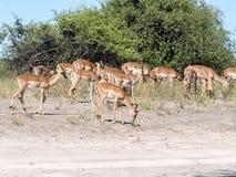 Leben Sie Impala Aepyceros melampus, Nationalpark Chobe, Botswana in Herden Stockfoto