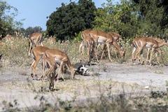 Leben Sie Impala Aepyceros melampus, Nationalpark Chobe, Botswana in Herden Lizenzfreie Stockfotografie