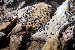 Leben Sie Inkaseeschwalbe, Larosterna-Inka, die Reservierung Isla de Ballestas, Peru in Herden Stockfotos