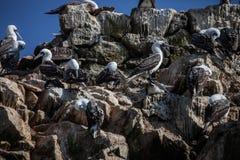 leben Sie peruanischen Dummkopf, Sula variegata, ein Felsen isla de Balesate, Peru in Herden Lizenzfreies Stockfoto