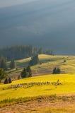 Leben Sie Schafe und Ziegen mit dem Schäfer in Herden, der auf einen anderen Platz umzieht Stockbilder