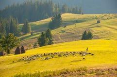 Leben Sie Schafe und Ziegen mit dem Schäfer in Herden, der auf einen anderen Platz umzieht Lizenzfreies Stockbild