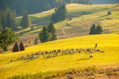 Leben Sie Schafe und Ziegen mit dem Schäfer in Herden, der auf einen anderen Platz umzieht Lizenzfreies Stockfoto