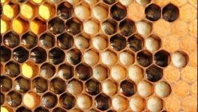 Leben und Wiedergabe der Bienen stock footage