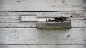 Leben von Bienen, Eingang zum Bienenstock stock video