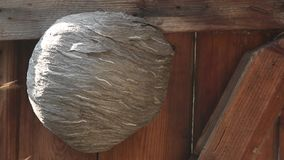 Leben von Insekten Wespen fliegen Eine Holztür mit einem Espensockel schließt Nahaufnahme stock video footage