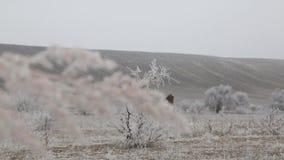 Leben von kasachischen Nomaden Kasachische Kultur stock video