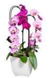 Lebende lila Orchideen blüht im Blumentopf, der auf Weiß lokalisiert wird Stockfotos