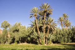 Lebende Oase, üppige Palmen stockfoto