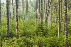 Lebender immergrüner Wald Lizenzfreies Stockfoto