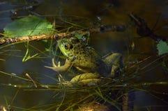Lebendig und Frosch tretend Stockfotografie