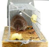 Lebendige aufgefangene Maus Lizenzfreies Stockbild