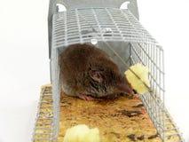 Lebendige aufgefangene Maus Stockbild