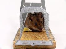Lebendige aufgefangene Maus Stockfoto