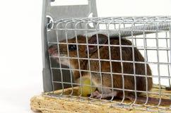 Lebendige aufgefangene Maus Stockfotografie
