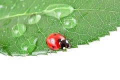 Lebendiger Marienkäfer auf einem Blatt mit Wasser fällt Stockfotografie