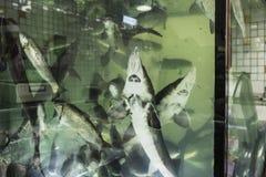 Lebendiger Stör im Aquarium Lizenzfreie Stockfotos